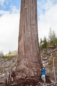 Big Lonely Doug, Canada's second largest Douglas-fir tree. Gordon River Valley, Port Renfrew, BC. Height: 216 ft (66 m) (broken top) Width: 12 ft (4 m)