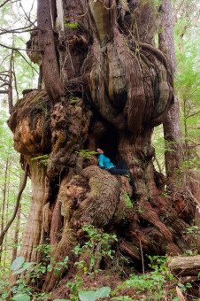 One of the most phenomenal trees on this planet! This bulbous redcedar grows along the trail to the Cheewhat Giant (Canada's largest tree) in the Pacific Rim National Park on Vancouver Island.