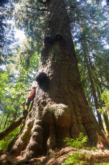 Maxine's Tree is located within the Carmanah-Walbran Provincial Park and is the second largest Spruce tree in Canada! Height: 265 ft (80.77 m)Diameter: 13.2 ft (4 m) Volume: 266 m3