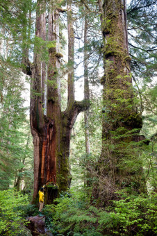 The Emerald Giant (or 'Mordor Tree') in the Walbran Valley. This tree shows a great example of the candelabra top that develops in these very old redcedars.