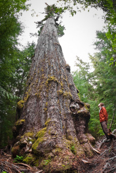The Red Creek Fir is the world's largest Douglas-fir tree! It grows in the San Juan Valley near Port Renfrew. The towering tree is estimated to be over a thousand years old! Height: 242 ft (73.8 m) Diameter: 13'9 ft (4.2 m)