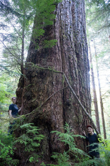 The Alberni Giant, Canada's 5th widest known Douglas-fir tree. This tree grows in the Nahmint Valley near Port Alberni. Sadly, a recently clearcut came to within 10-20 m of the tree.