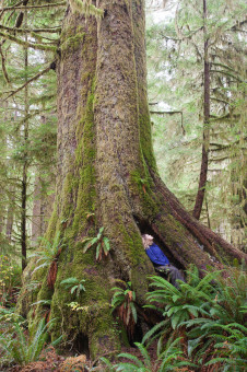 A sitka Spruce known as the Heaven Tree in Carmanah Valley Provincial Park.