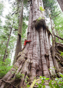 TJ doing his best to hug the country's 4th largest redcedar, located just before the Cheewhat Giant (Canada's largest tree) in the Pacific Rim National Park Reserve.