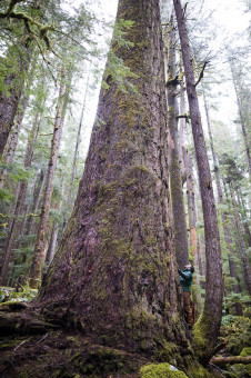 A massive Douglas-fir tree growing on Edinburgh Mt near Port Renfrew.