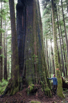 The largest redcedar growing in the endangered Eden Grove near Port Renfrew.
