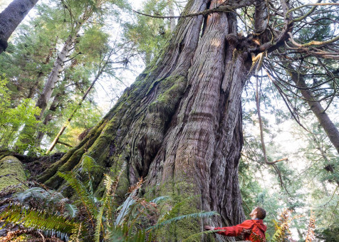 One of many massive cedars found growing in the Jurassic Grove near Port Renfrew