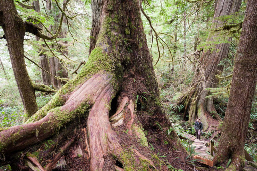 The Big Tree Trail on Meares Island is a big tree lover's heaven! Be sure to make the short trip via water taxi next time you're visiting Tofino