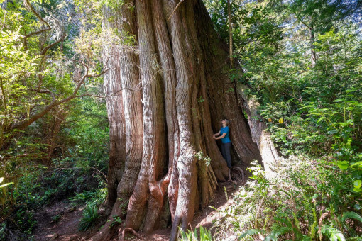 A MASSIVE western redcedar growing on Meares Island in Clayoquot Sound.