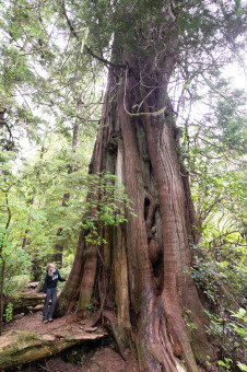 The backside of a cedar known as the 'Poster Tree' along the Meares Island Big Tree Trail.
