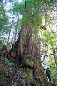 The unprotected 'Refugee Tree', the largest cedar in the Capital Regional District near Victoria, on Crown lands south of Sombrio Beach. Diameter:  13.7 ft  (4m) - would be much greater if on level ground!