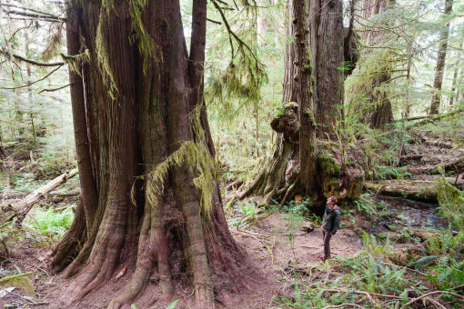 "Along the path leading to the Red Creek Fir you will find this amazing group of ancient redcedars, aptly nicknamed "" The 3 Guardians"""
