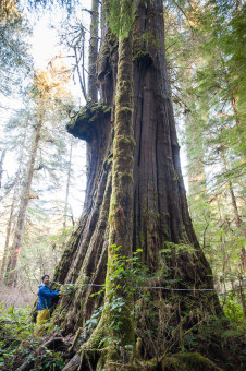The 'Tolkien Giant' in the Walbran Valley comes in as the 9th widest western redcedar in BC. Height:  138 ft (42 m) Diameter: 15 ft (4.6 m) Circumference: 47 ft (14.4 m)