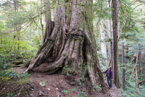 The Castle Giant is a monumental redcedar growing in the unprotected Walbran Valley on Vancouver Island. This redcedar measures over 16 ft wide at the base and was used by scientists for canopy research projects.