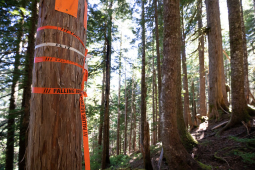 "Flagging tape marked ""falling boundary"" indicating Teal-Jones' plans to log in this area."