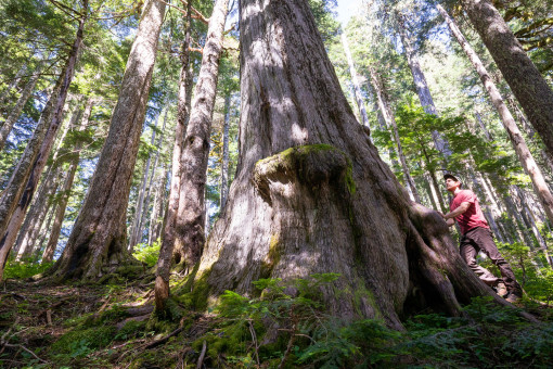 BC's 9th-widest known yellow cedar in the at-risk headwaters of the Fairy Creek Valley near Port Renfrew.