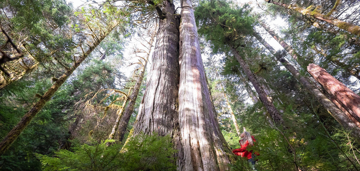 ACTION ALERT: Tell the NDP government FRPA amendments must protect old-growth forests