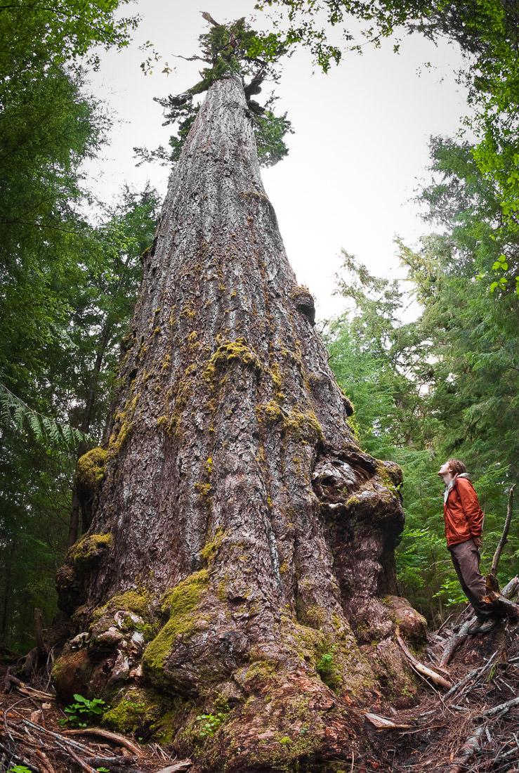 biggest trees ancient forest alliance. Black Bedroom Furniture Sets. Home Design Ideas