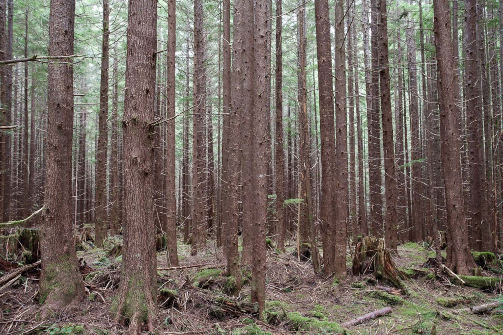 Second growth forest on Vancouver Island.