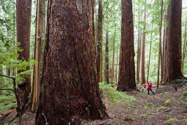 Jane Morden of the Port Alberni Watershed Forest Alliance photographs giant Douglas-fir trees in the Cameron Valley near Port Alberni.