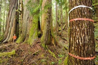 "Flagging tape marked ""Falling Boundary"" in the lower Avatar Grove when the forest was initially surveyed for logging."