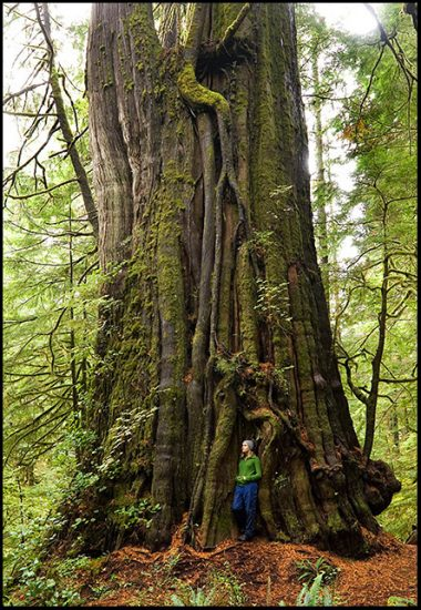 Canada's largest tree