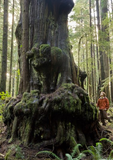 Photographer TJ Watt is dwarfed by one of the huge alien shaped Red Cedar's in the threatened Avatar Grove near Port Renfrew