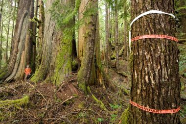 """Orange flagging tape marked """"Falling Boundary"""" ropes off massive red cedars in a section of the Avatar Grove near Port Renfrew"""