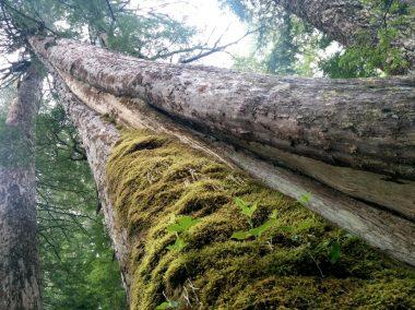 Ancient yellow cedar slated for logging in Schmidt Creek