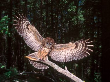 The highly endangered Spotted owl. An estimated 5 individuals are thought to exist still in the wild.