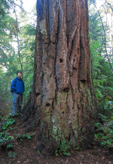 AFA's Ken Wu with a giant old-growth Douglas-fir tree in Stanley Park.