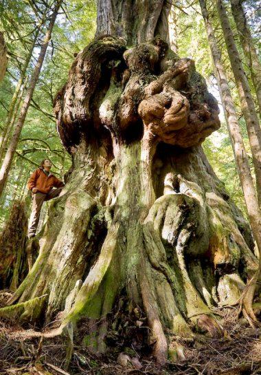"""Canada's gnarliest tree"" grows in Avatar Grove"