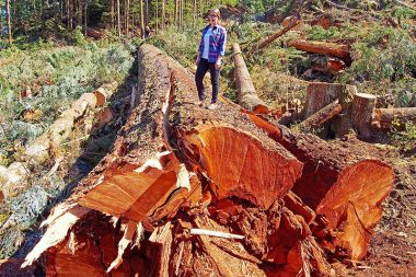 BC's 9th widest Douglas-fir cut down in the Nahmint Valley