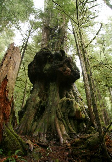 An ancient western red cedar growing in Avatar Grove near Port Renfrew
