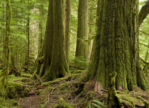 Leave Old Growth Alone Says Union