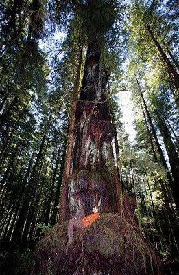 TJ Watt on an old-growth tree yesterday near Port Renfrew