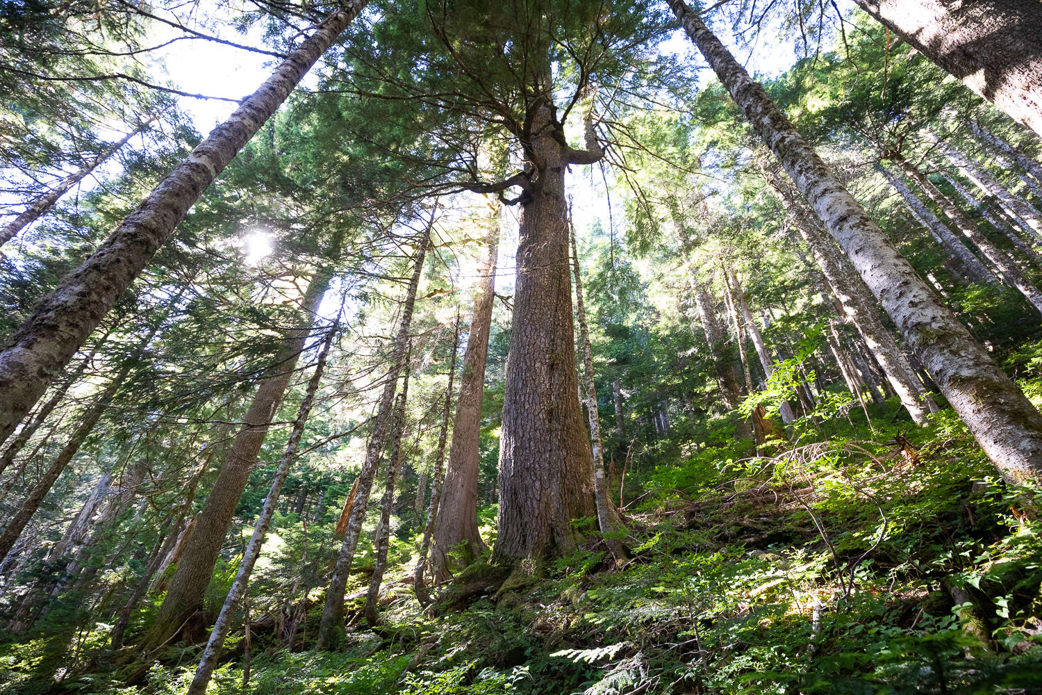 Fairy Creek Headwaters - Ancient Forest Alliance